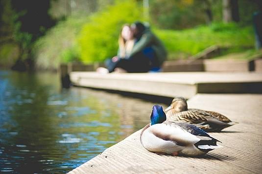 Shaw's Bridge Riverside Engagement with ducks