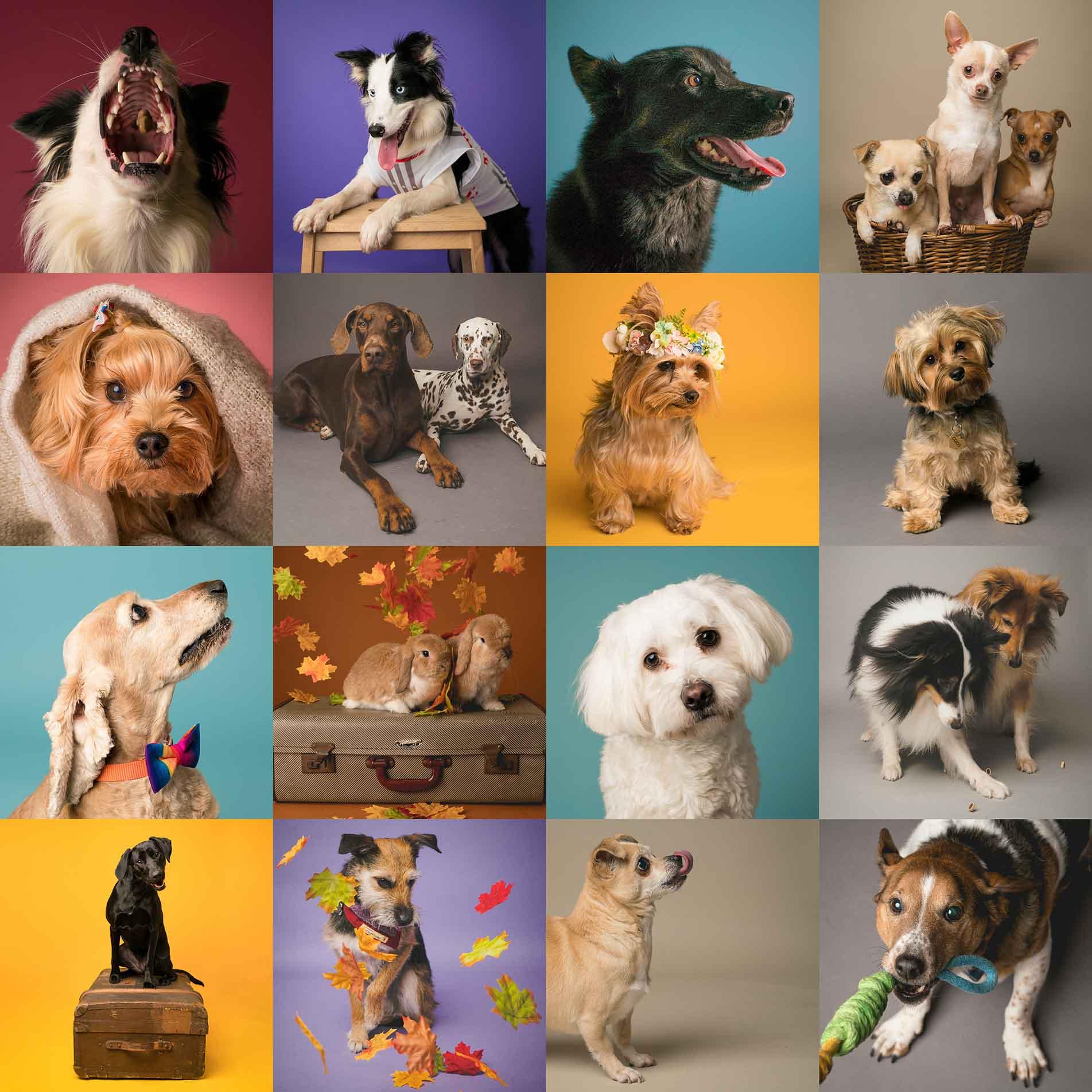 Dog & pet portraits Belfast